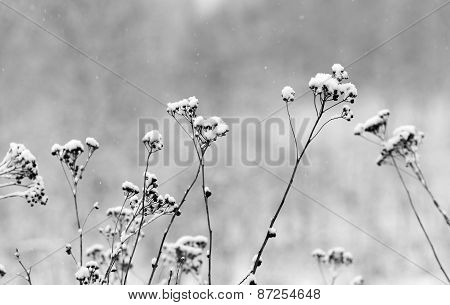 Wild flowers and dry grass covered with snow