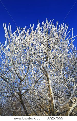 Trees with white hoarfrost at winter, blue sky