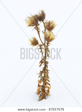 Burr in snow, winter, wite, herb, plant, nature