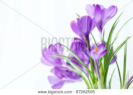 Beautiful crocus flowers on curtain background