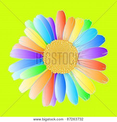 Rainbow Daisy.