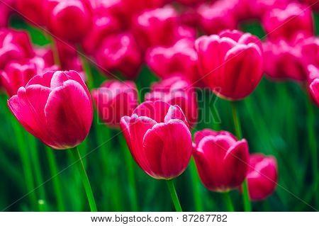 Pink Flowers Tulip In Spring Garden