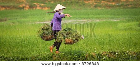 Vietnamese Woman At Work In Ricefield