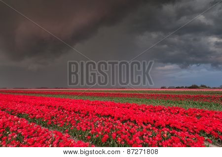 Shower Over Tulip Field