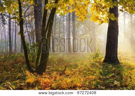 Trees With Yellow Leaves In Autumn Forest