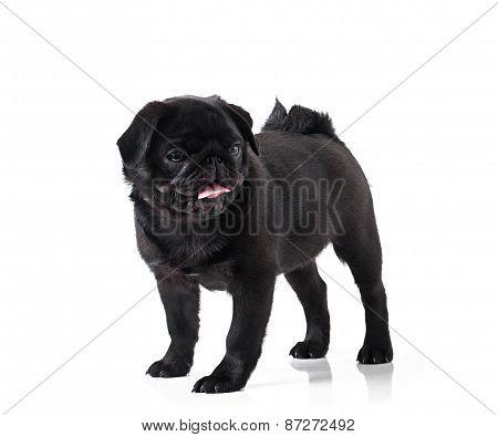 Young black dog pug posing on white background