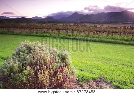 Lavender farm and vineyard in Kooroomba
