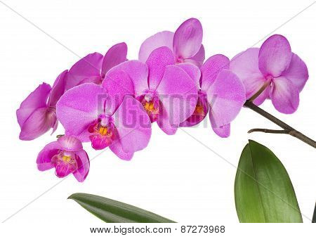 Orchids Flowers