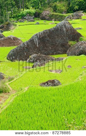 Terrace Rice Fields On An Island Sulawesi In Indonesia
