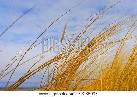 Yellow Grass On The Beach On A Background Of The Spring Sky
