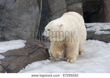 Polar Bear Goes On Snow By Big Stones