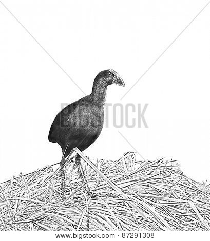 Line art, or pen and ink style rendition of a New Zealand Pukeko, a native bird in the wild