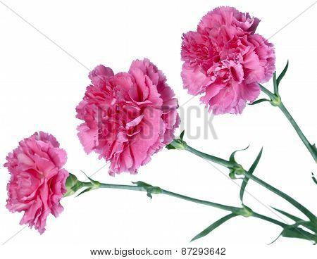 three pink carnations