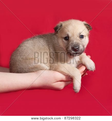Red And White Little Puppy Sitting On Hand On Red