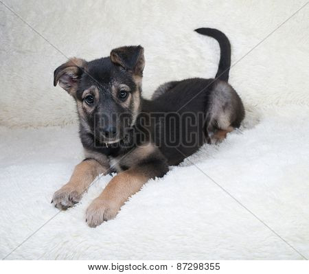 Small Black And Yellow Puppy Lying On Fur Sofa