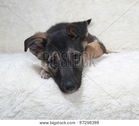 Small Black And Yellow Puppy Lies On Fur Sofa