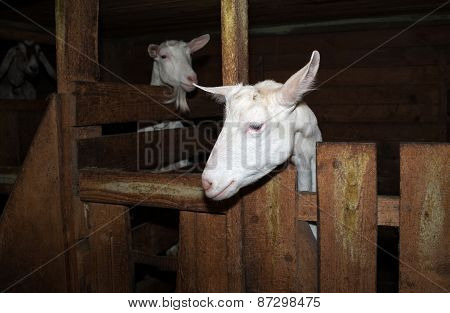 Two Saanen White Goat In Barn