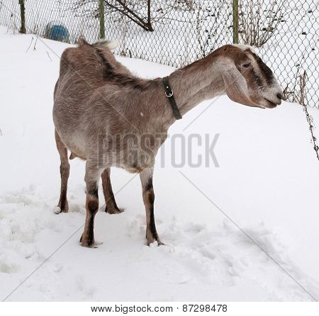 Nubian Brown Goat Standing On Snow