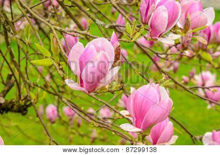 Perfect Blossom. Magnolia tree blossom.