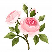 stock photo of english rose  - Vector branch of pink roses and green leaves isolated on a white background - JPG