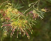 Spring Beautiful Spider Flower Of Grevillea Winpara Gem Shrub Of