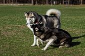 stock photo of stroll  - Black Siberian Husky is sniffing another dog - JPG