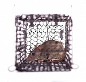 foto of rats  - rat trap in front of white background - JPG
