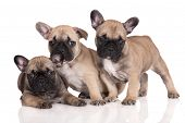 image of french bulldog puppy  - three beige french bulldog puppies together on white - JPG
