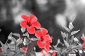 pic of drama  - Red hibiscus flower over black and white drama bokeh background - JPG