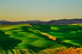 foto of senesi  - Tuscany country rolling hills landscape hilltop cypress tree and green fields on sunset - JPG