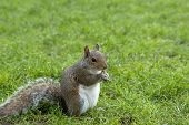 Постер, плакат: Squirrel standing and eating a nut Grey squirrel in the meadow