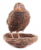 picture of quail  - Brown quail is standing in nest - JPG
