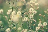 image of dandelion  - Beautiful white dandelion flowers close - JPG