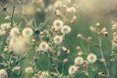 picture of dandelion  - Beautiful white dandelion flowers close - JPG