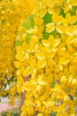 stock photo of cassia  - golden shower Cassia fistula yellow blossom flower - JPG