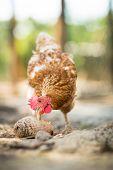 stock photo of hen house  - Hen in a farmyard  - JPG