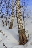 picture of birching  - Winter birch forest tree snow nature spring - JPG