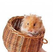 foto of hamster  - Hamster in a basket isolated on a white background - JPG