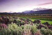 pic of lavender plant  - Lavender farm and vineyard in Kooroomba - JPG