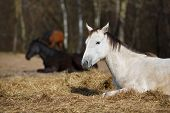 foto of foal  - White foal on the meadow at spring time - JPG