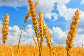 picture of cloudy  - Wheat ears on a background of field and cloudy sky - JPG