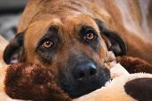picture of hound dog  - Detailed portrait of a Rhodesian Ridgeback dog - JPG