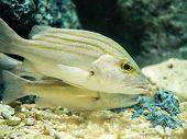 foto of saltwater fish  - Closeup shot of two saltwater yellow fishes - JPG