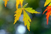 pic of canada maple leaf  - Green and red Maple Leaves with bokeh - JPG