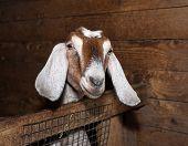 picture of nubian  - Nubian nice  brown female goat in barn - JPG