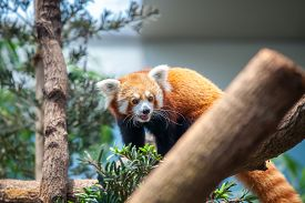 picture of panda  - Portrait of a Red Panda - JPG
