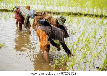 Group of Thai farmer working in the rice field.