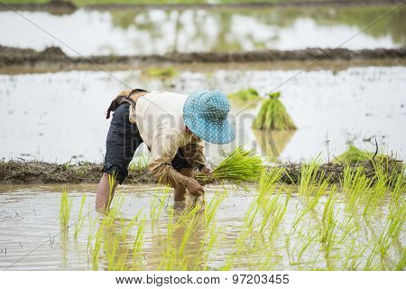 Thai farmer working in the rice field.