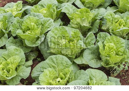 Close up green Chinese cabbage. Tak province ,Thailand.