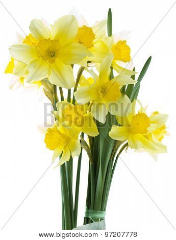 Wild Daffodil Isolated on White Background